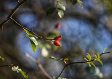 Rosehips in autumn Stock Photo