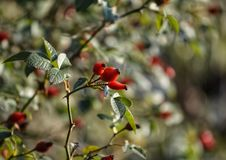 Rosehips in autumn Royalty Free Stock Image