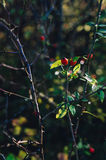 Rosehips on the branch in the nature Stock Photo
