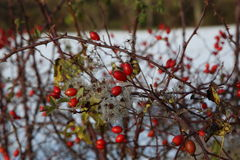 Rosehips in the cold Stock Images