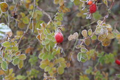 Rosehips in the cold Royalty Free Stock Images