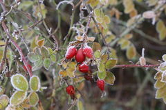 Rosehips in the cold Royalty Free Stock Photography