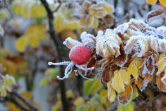 Rosehips in the cold Royalty Free Stock Image