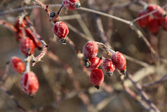 Rosehips in the cold Stock Photography