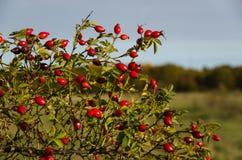 Rosehips coloridos Imagem de Stock