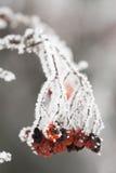 Rosehips congelados Imagem de Stock