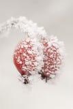 Rosehips congelados Imagens de Stock Royalty Free