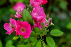 Summer garden flowers. Bush with bright flowers of wild rose. Rosehips - deciduous shrubs and shrubs, somes evergreen, with erect, climbing or creeping stems of royalty free stock photo