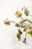Rosehips do inverno Imagens de Stock Royalty Free