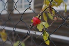Rosehips em um ramo Fotografia de Stock Royalty Free