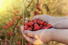 Rosehips in hands with rosehip background Stock Images