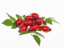 Rosehips. Harvesting berries to make jam Stock Images