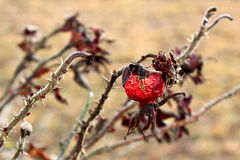 Rosehips. Last year's dried rose hips. Prickly branches of a wild rose stock photos