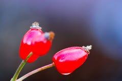 Rosehips macro image Stock Photo