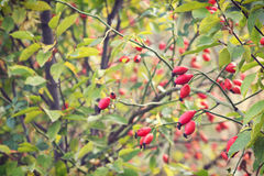 Rosehips in nature Stock Photos