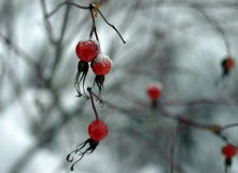 Rosehips no inverno Foto de Stock Royalty Free