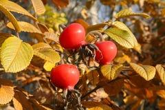 Rosehips nos ramos imagens de stock royalty free