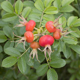 Rosehips on plant in garden Royalty Free Stock Photography