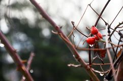 Rosehips in the rain with raindrops. royalty free stock photography