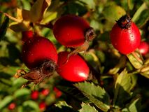 Rosehips. Red rosehips in autumn time Royalty Free Stock Photo