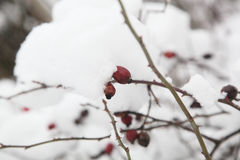 Rosehips snow Royalty Free Stock Photography