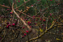 Rosehips Stock Photography