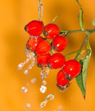 Rosehips in water. A plant in a park in nature. A photo Royalty Free Stock Image
