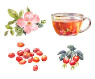 Rosehips watercolor. Tea with rose hips. Flower, berries, and in Stock Photo