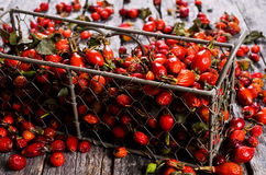 Rosehips Royalty Free Stock Images