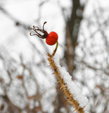 Rosehips in winter forest Stock Images