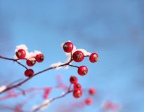 Rosehips in winter Stock Image