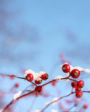 Rosehips in winter Stock Images