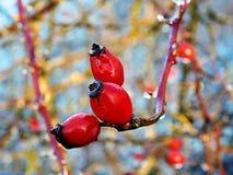 Rosehips zima Fotografia Stock