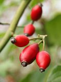 Rosehips2 Royalty Free Stock Images