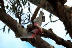 Roseicapilla de Galah Eolophus photos stock