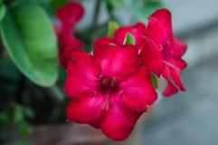 Roseim de désert, fleur de lis de pala Photos stock