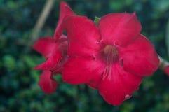 Roseim de désert, fleur de lis de pala Photo stock