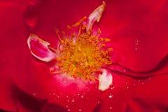 Roseis внутреннего космоса красивые растя весной сад конец вверх Стоковые Фотографии RF