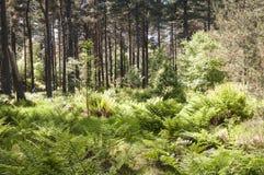 Roseisle-Wald Lizenzfreie Stockfotografie