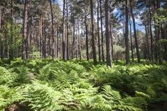 Roseisle-Wald Stockbilder