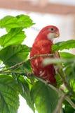 Η ροδοκόκκινη συνεδρίαση χρώματος παπαγάλων Rosella σε έναν κλάδο ενός Κινέζου αυξήθηκε στοκ εικόνες