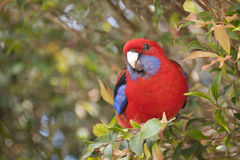 Rosella Foto de Stock Royalty Free