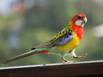 Rosella Stock Photography