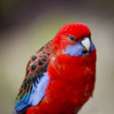 Rosella. Australian native Rosella parrot in the wild in bright red and blue Stock Image
