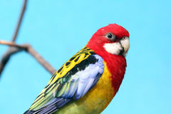 Rosella Royalty Free Stock Photography