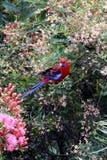 rosella cramoisi Photos libres de droits