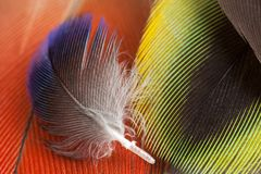 Rosella koloru papuzi piórka Obraz Royalty Free