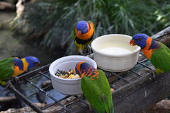 Rosella meal time. Royalty Free Stock Image