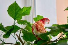 Rosella-Papageien-Farbrubin, der auf einer Niederlassung einer chinesischen Rose sitzt lizenzfreie stockbilder