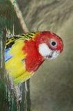 Rosella Parakeet Royalty Free Stock Photography